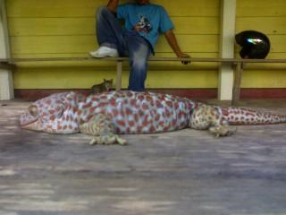 Peternakan Tokek di Jambi Dirahasiakan Harganya Tak Masuk Akal